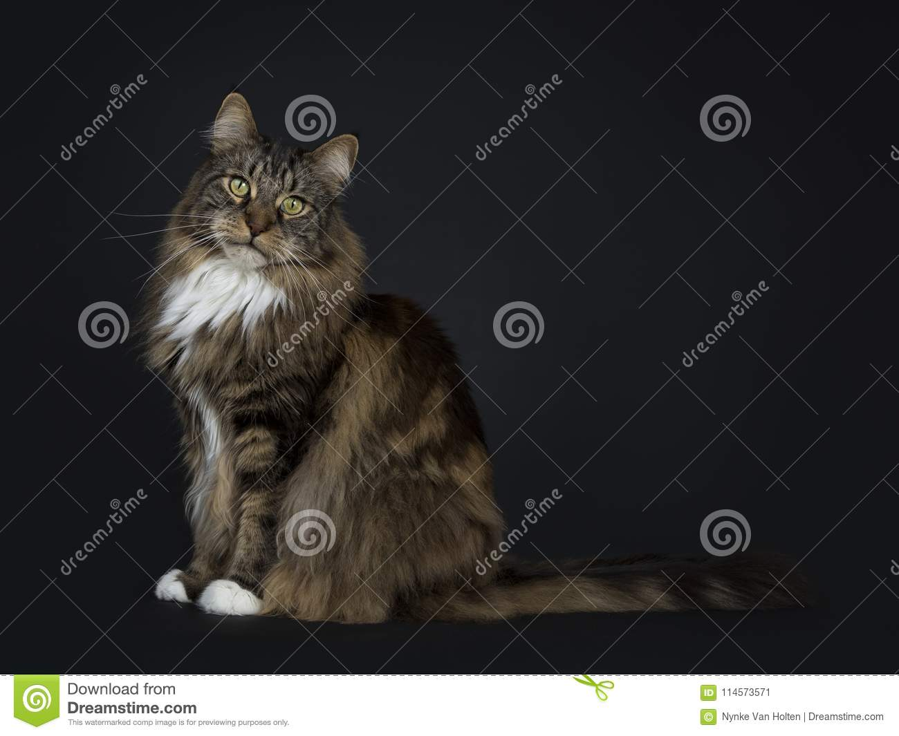 Big adult black tabby Maine Coon cat