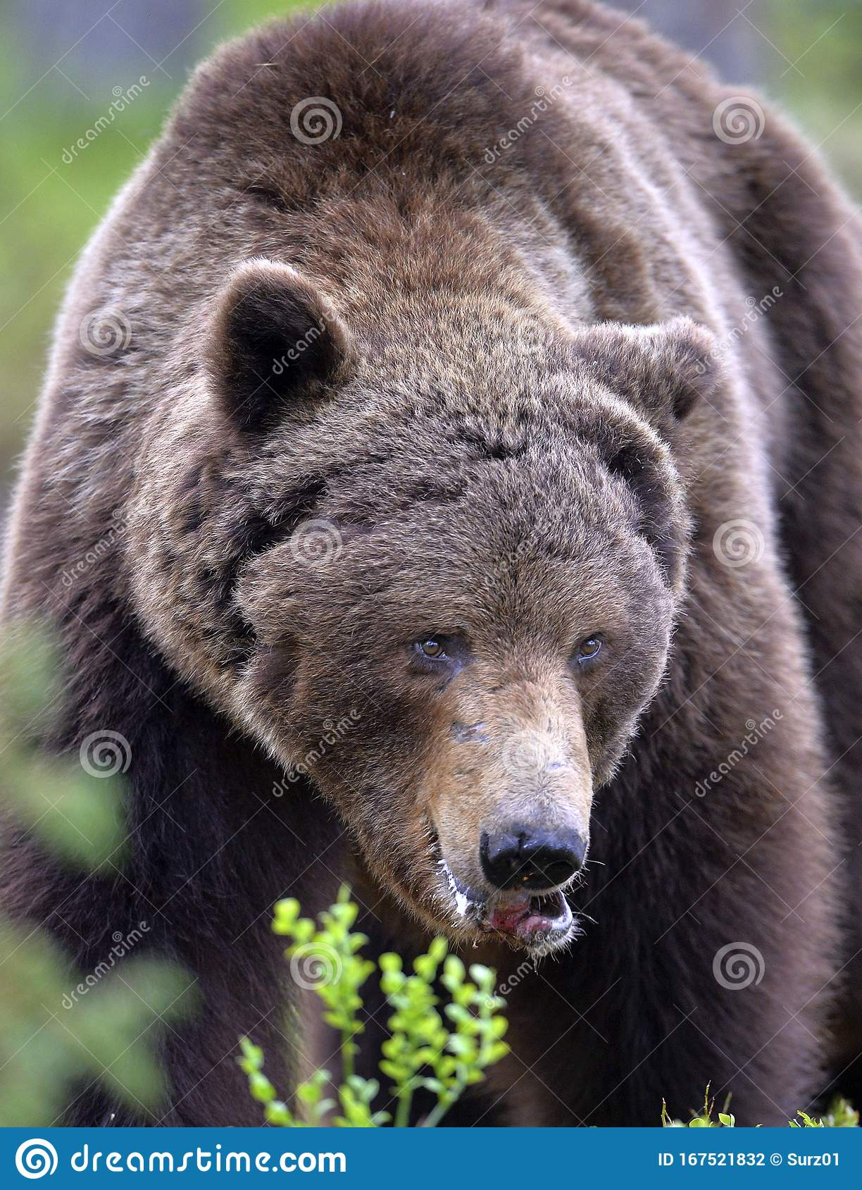 Big Adult Male Of Brown Bear Front View Close Up Stock Photo Image Of Brown Eyes 167521832 You'll have to allow messages from the bearfront.com domain/email. dreamstime com