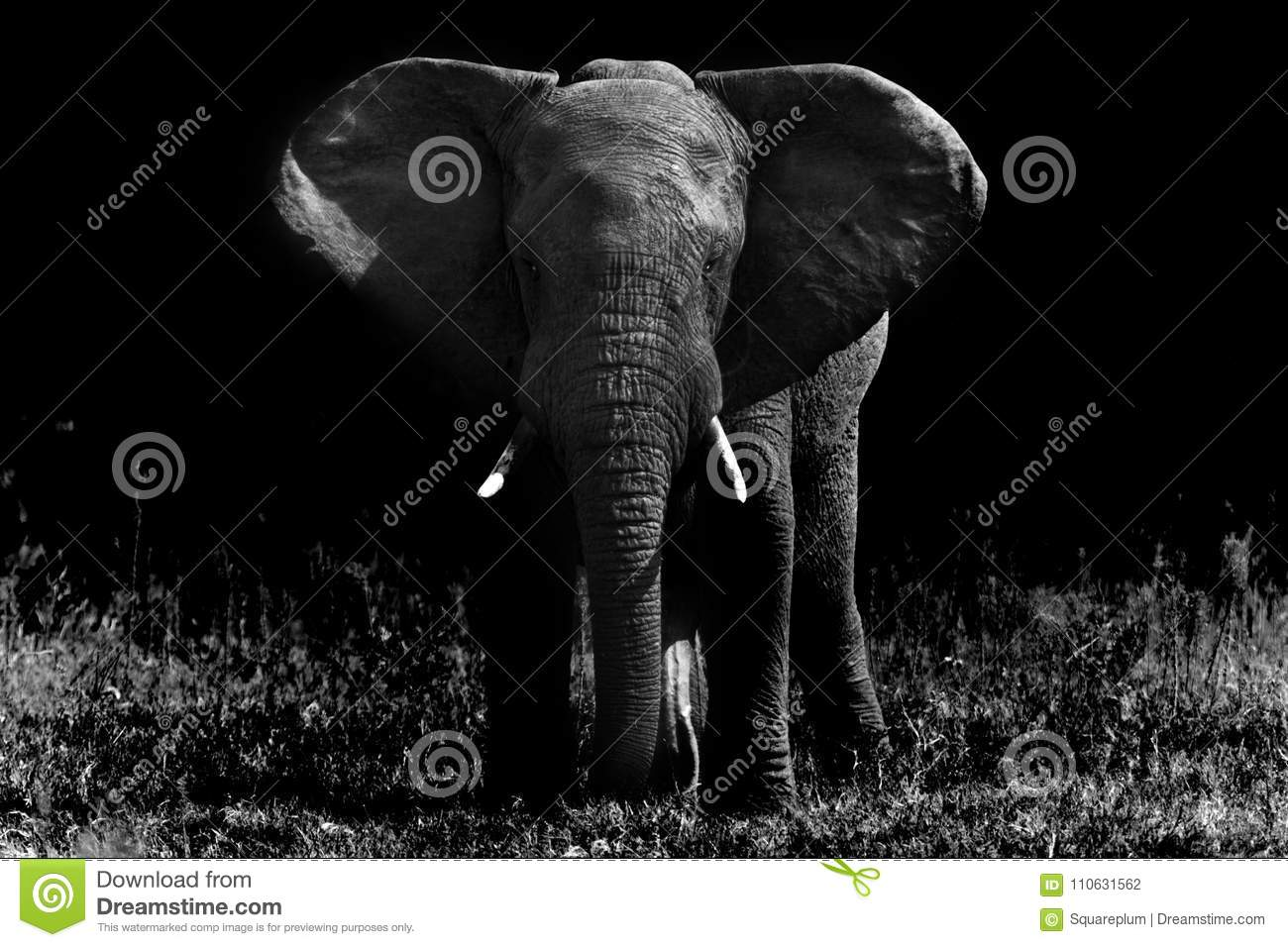 Big elephant in black and white