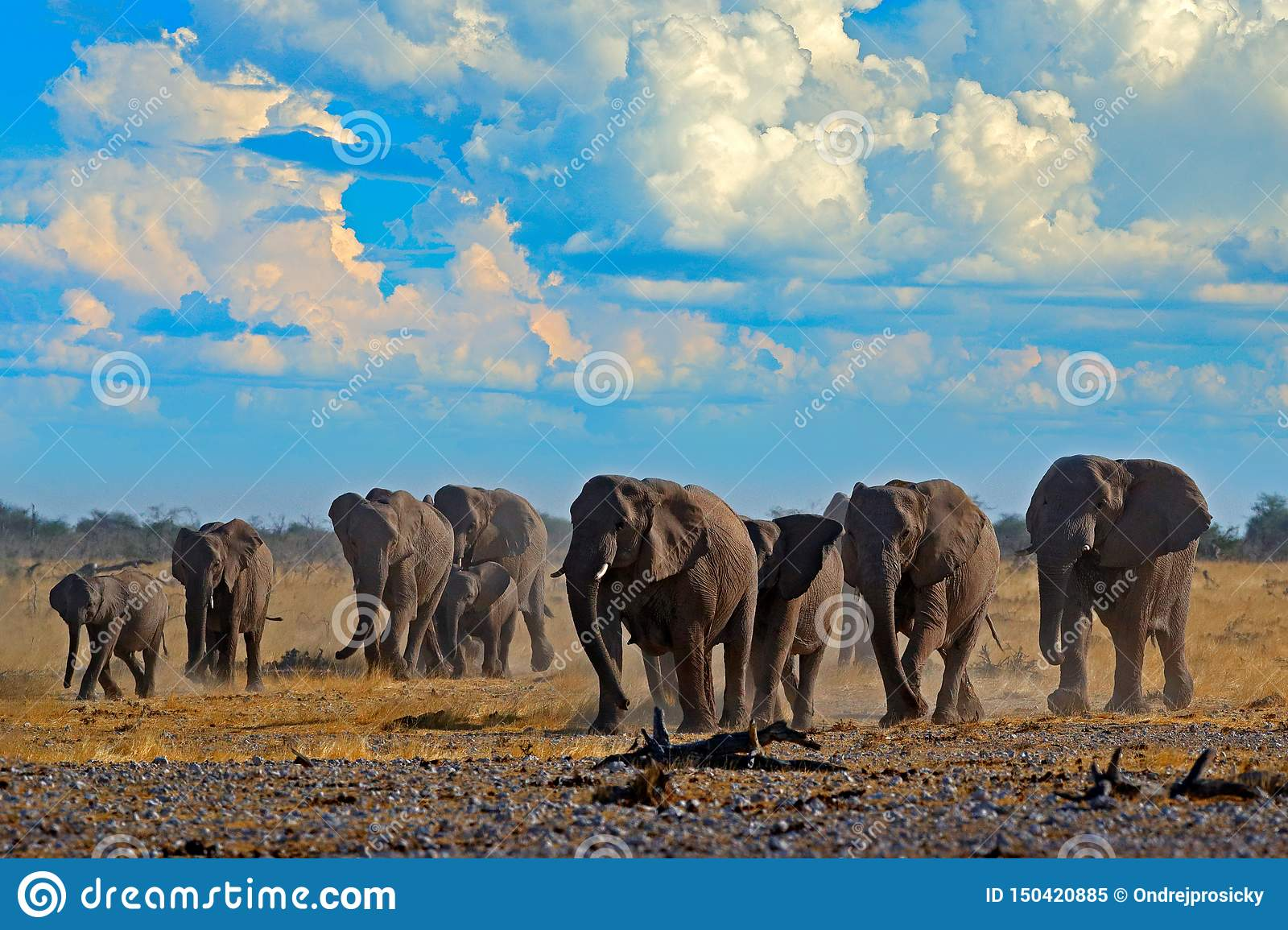 Big African Elephants herd, with blue sky and white clouds, Etosha NP, Namibia in Africa. Elephant in the gravel sand, dry season