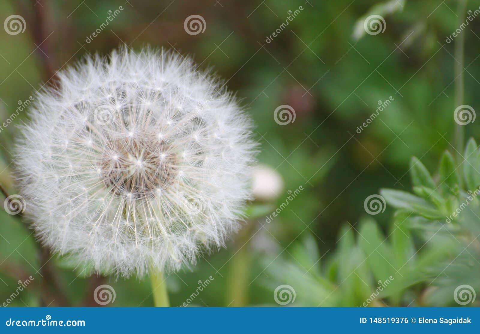 Big air dandelion background