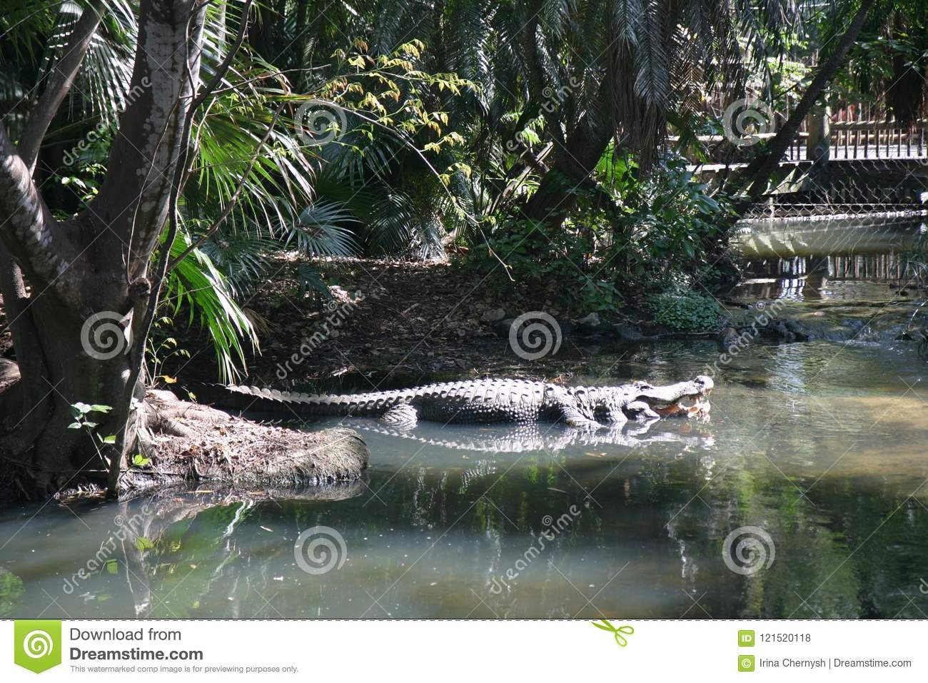 Big alligator in green water with plant in zoo