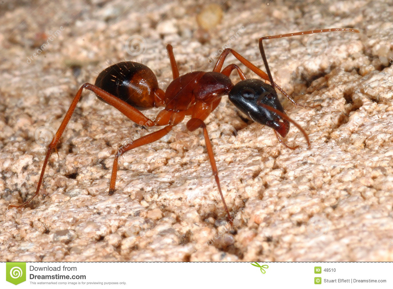 Big Ant... Stock Photo - Image: 48510