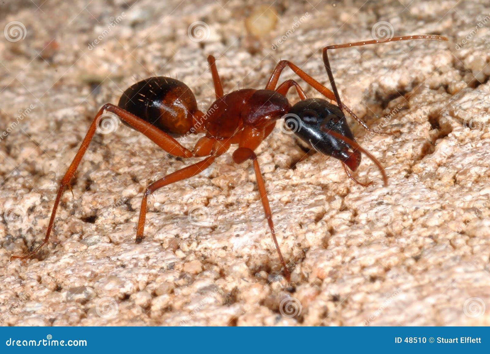 big-ant-48510.jpg