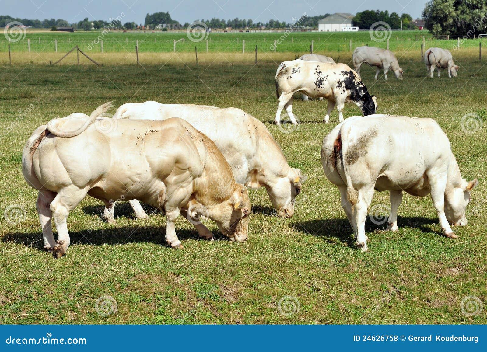 Big Bad Muscular Bull Royalty Free Stock Photos - Image