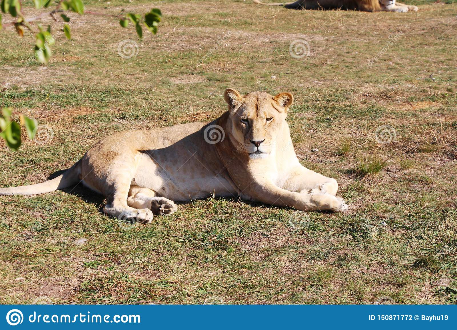Lioness lies and rests on the ground