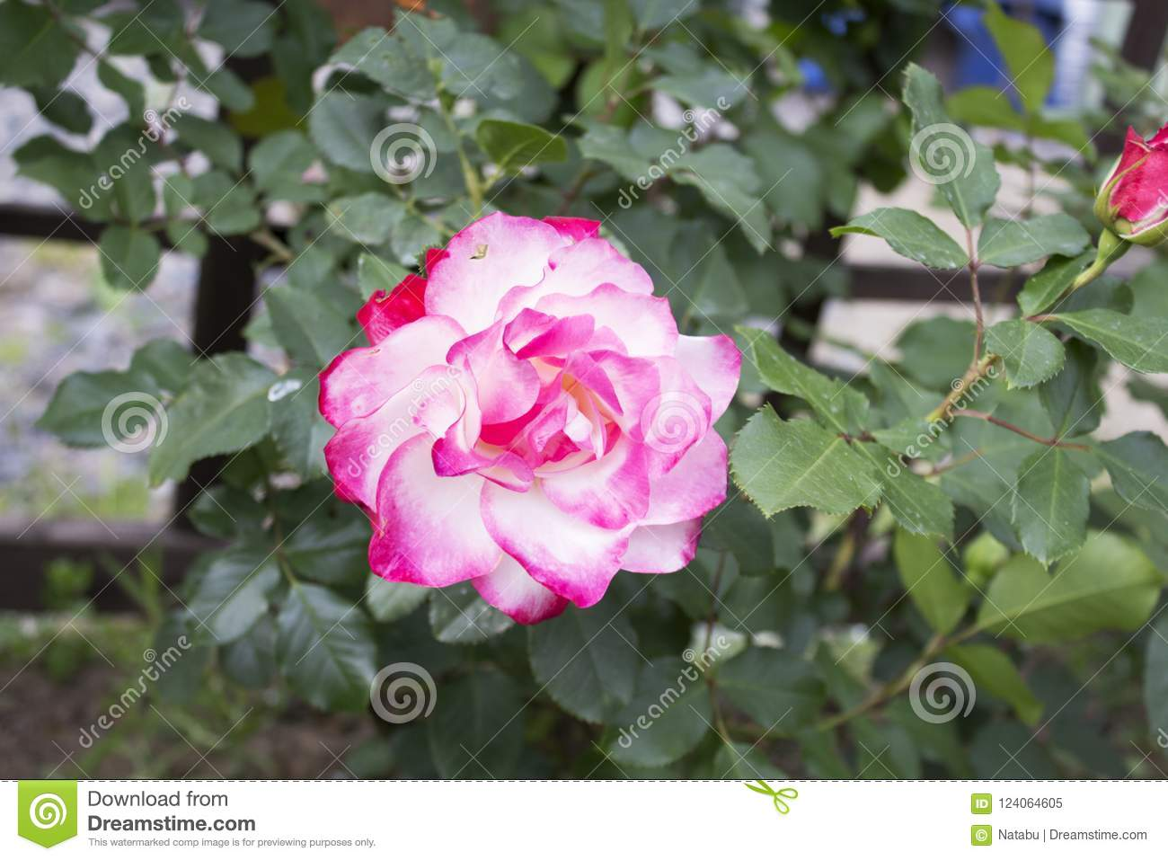 Big beautiful pink fully faded garden rose stock image image of download big beautiful pink fully faded garden rose stock image image of lifestyle bright m4hsunfo