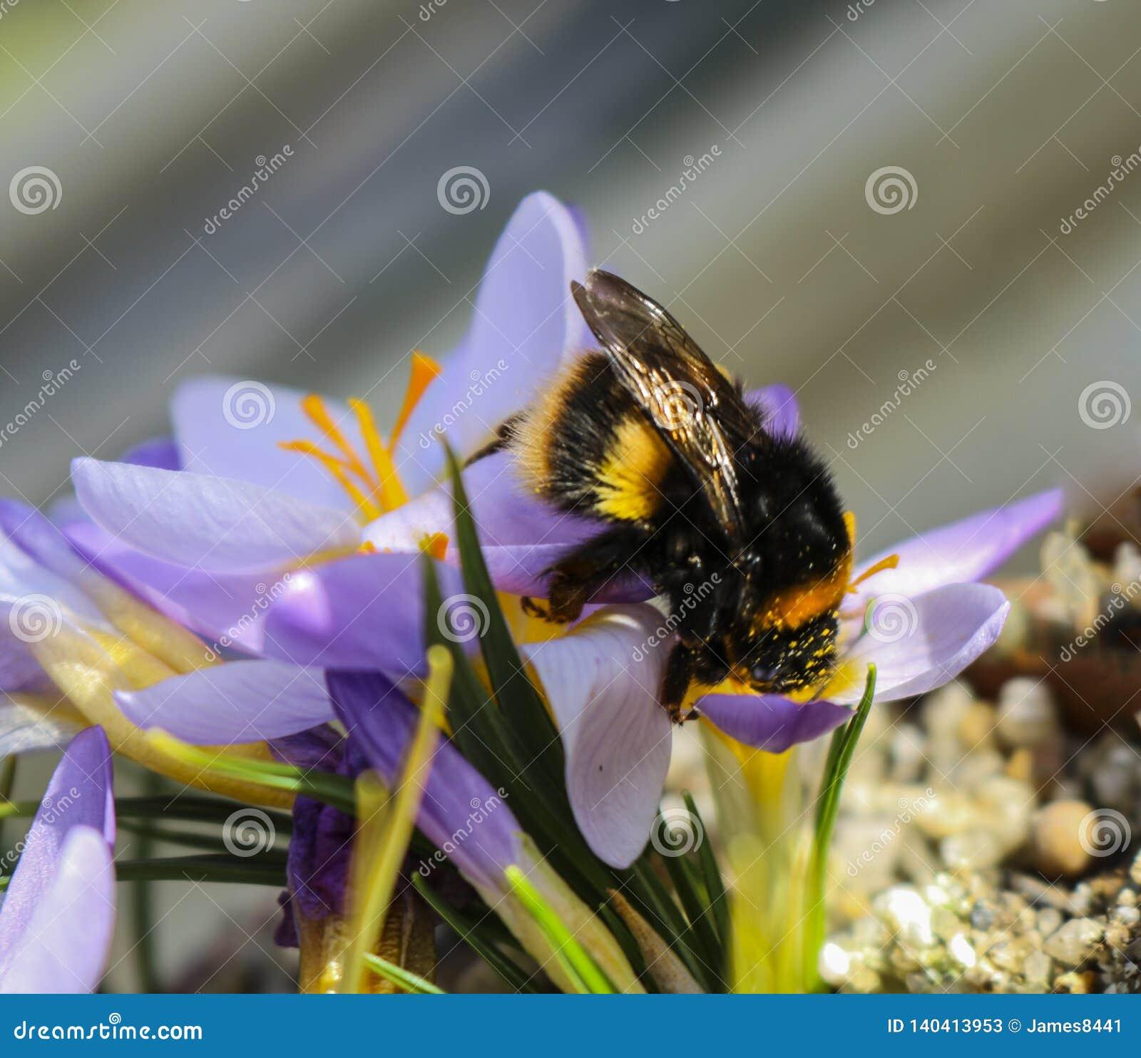 Big bee on a large violet flower