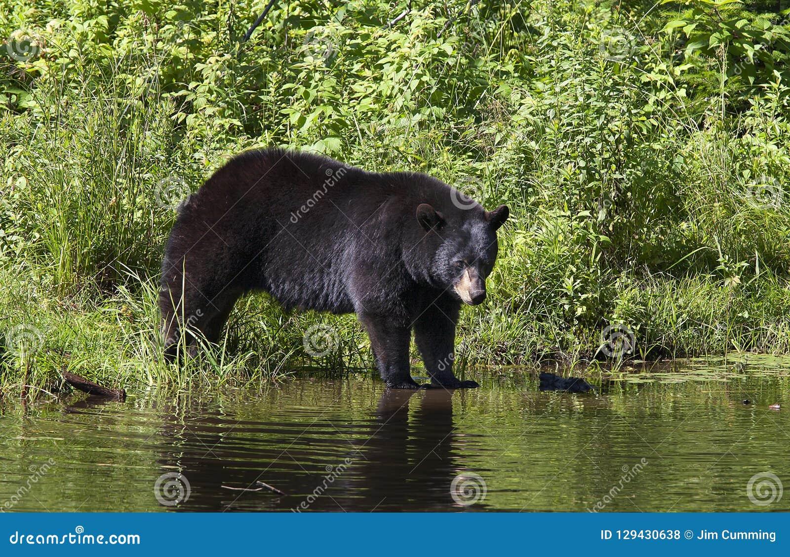 A Big Black bear Ursus americanus walking into the water in summer in Canada