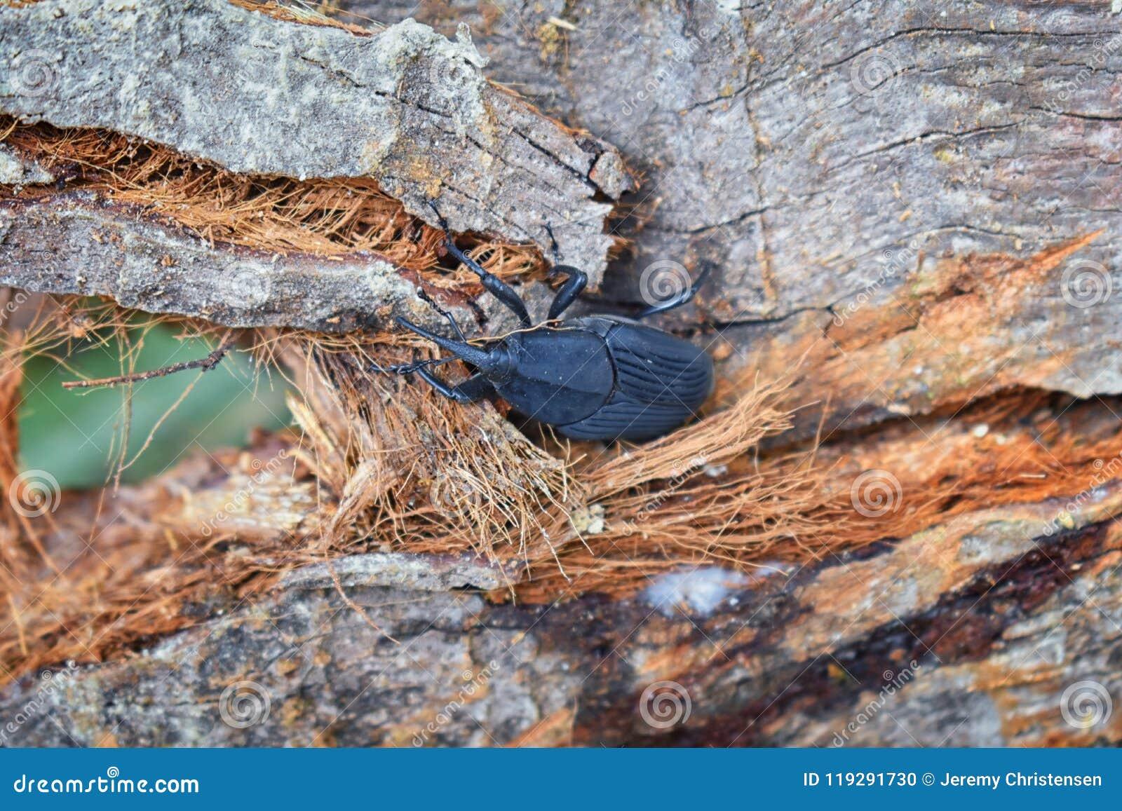 Big Black Beetle Crawling On Rotting Log In El Eden, Puerto