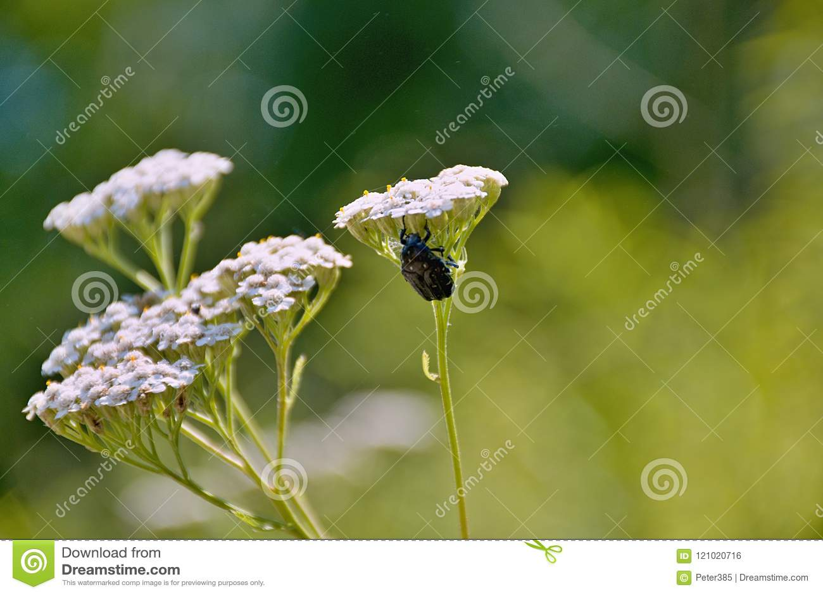 Download Big Black Beetle - White Flower Stock Photo - Image of water, brown: 121020716