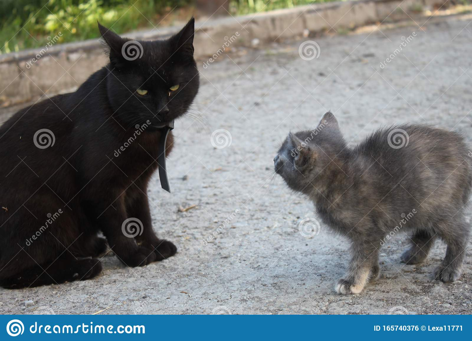 Big Black Cat And Kitten Met Background Stock Photo Image Of Furry Expression 165740376