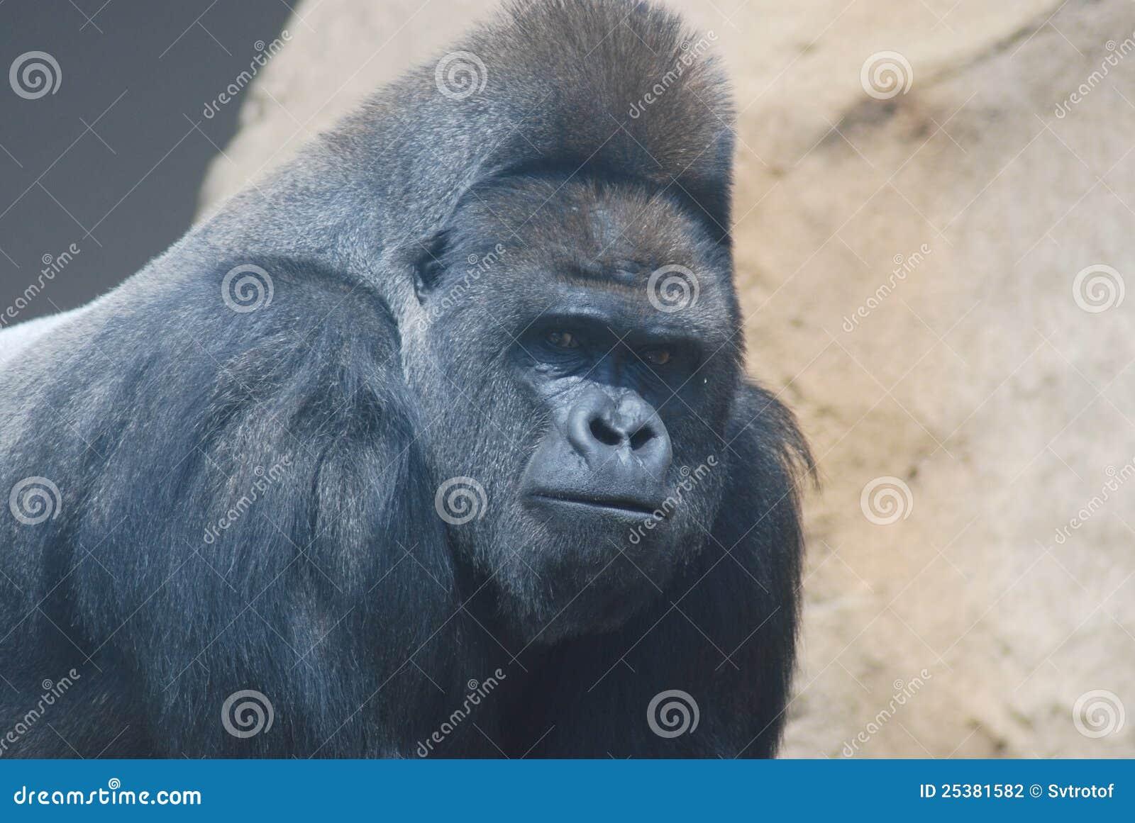 big black hairy gorilla stock photography image 25381582