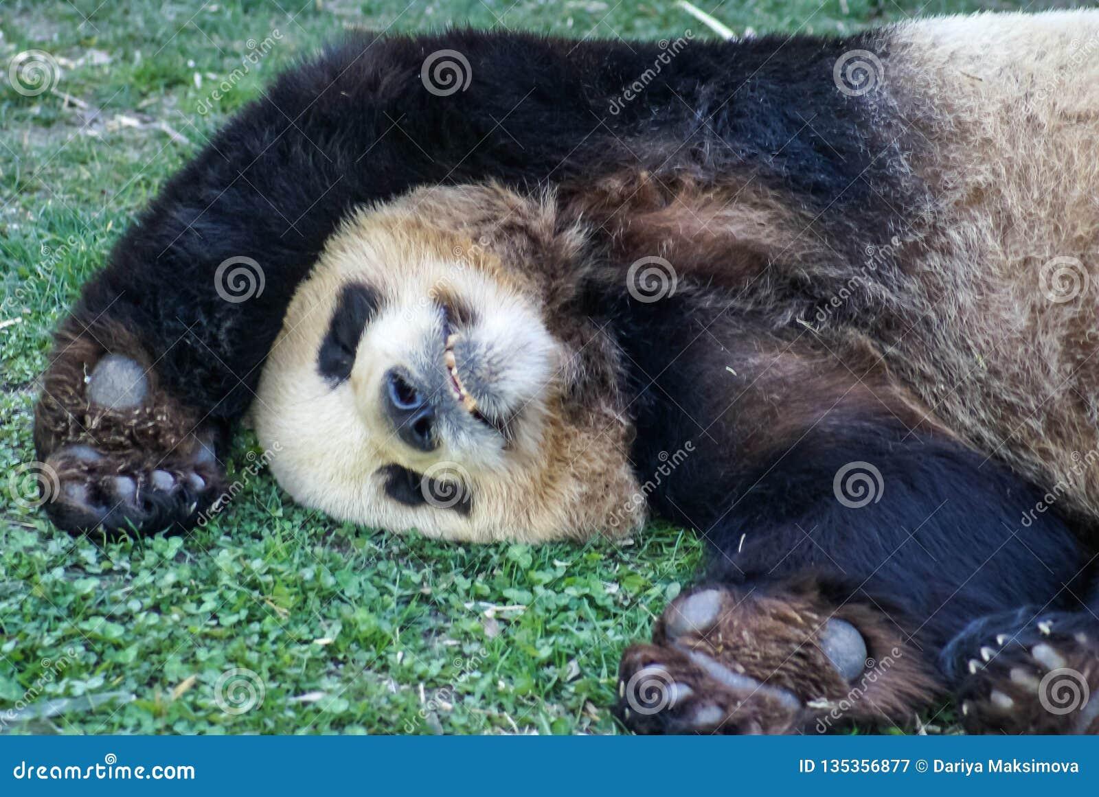 Big black-white panda bear sleeping with paws up give up