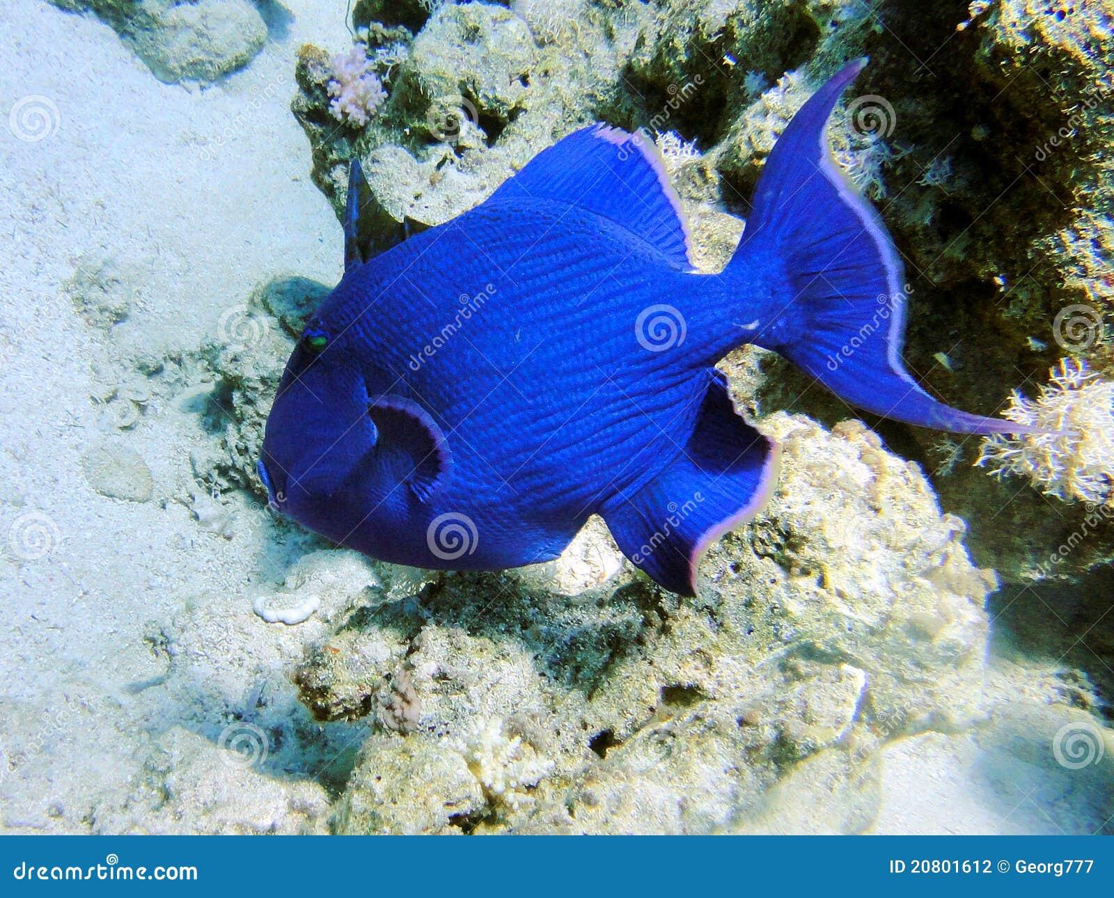 Big Blue Fish 1 Stock Photography Image 20801612