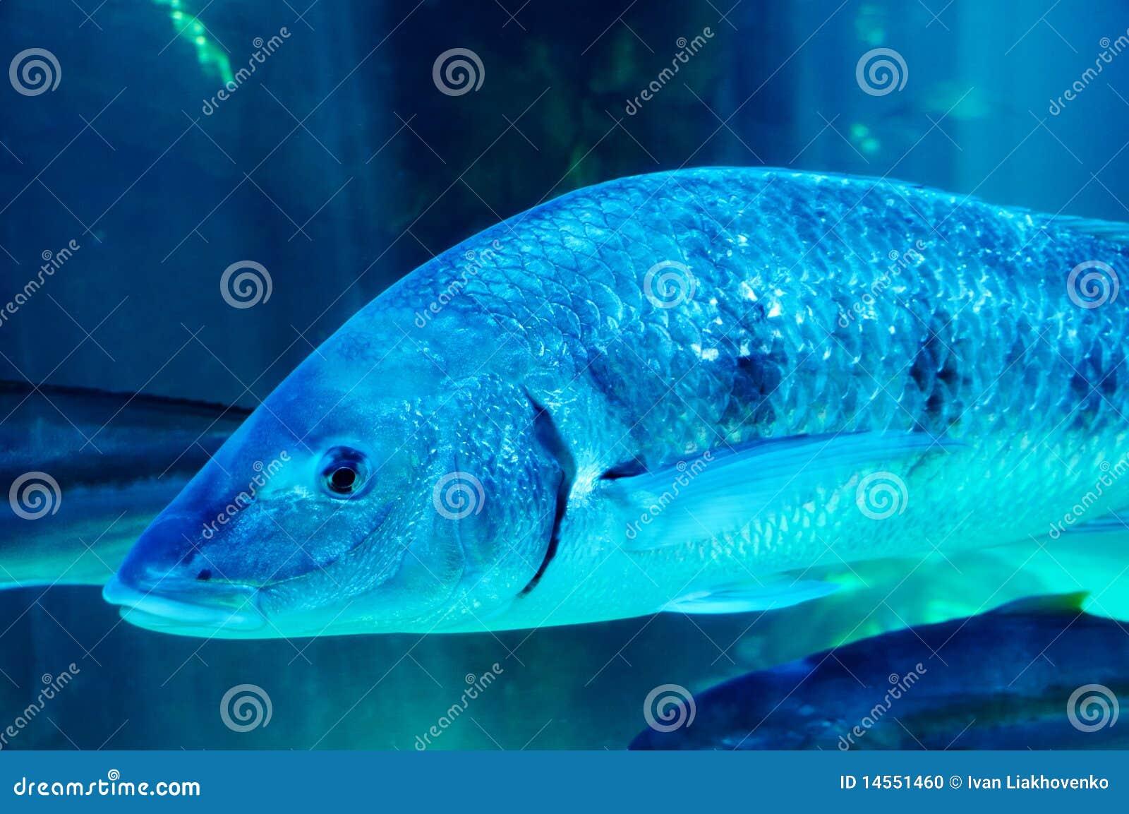 Big Blue Fish Stock Photo Image Of Biology Fish Travel