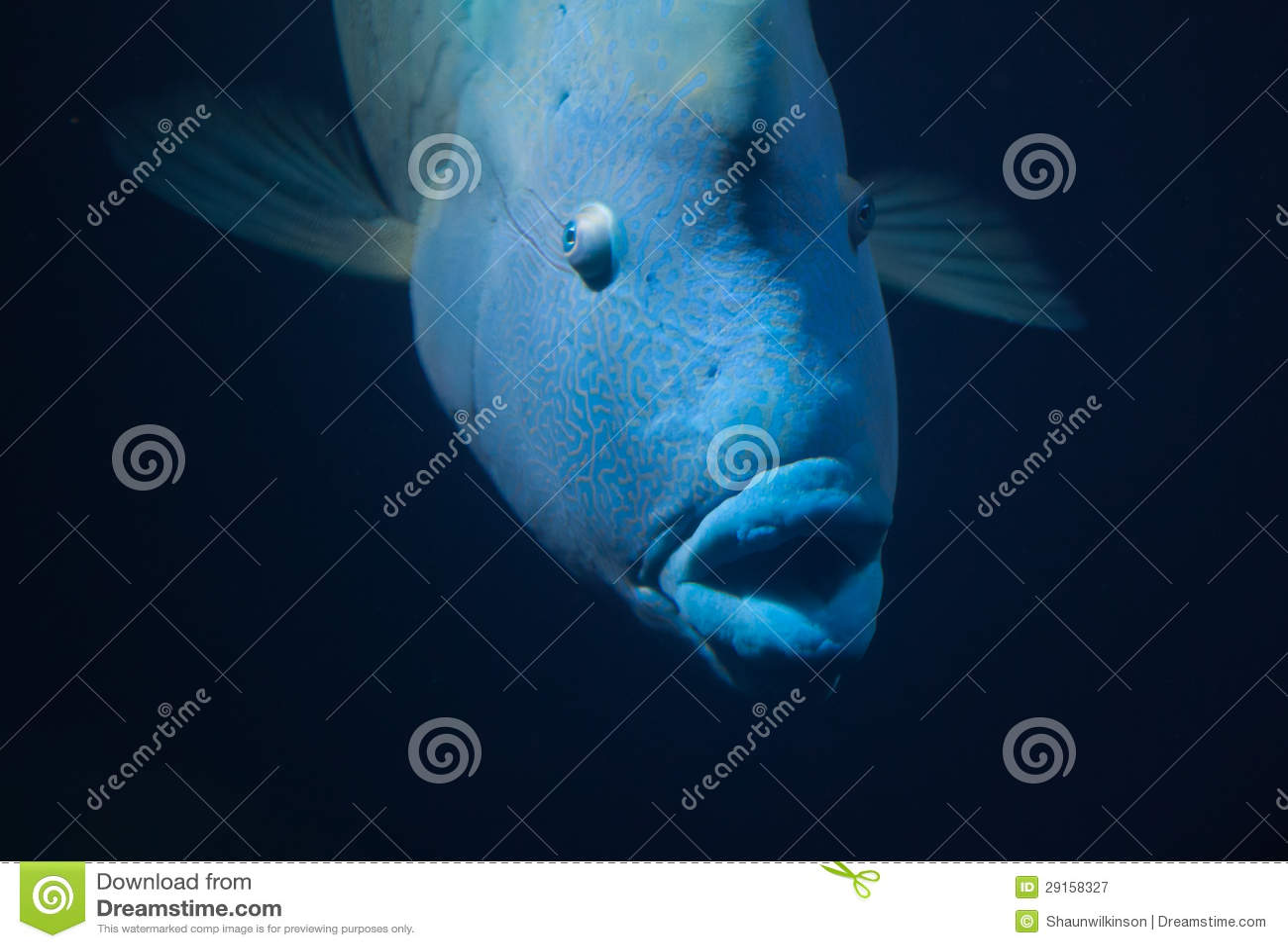 Big Blue Fish Napoleon Wrasse Royalty Free Stock