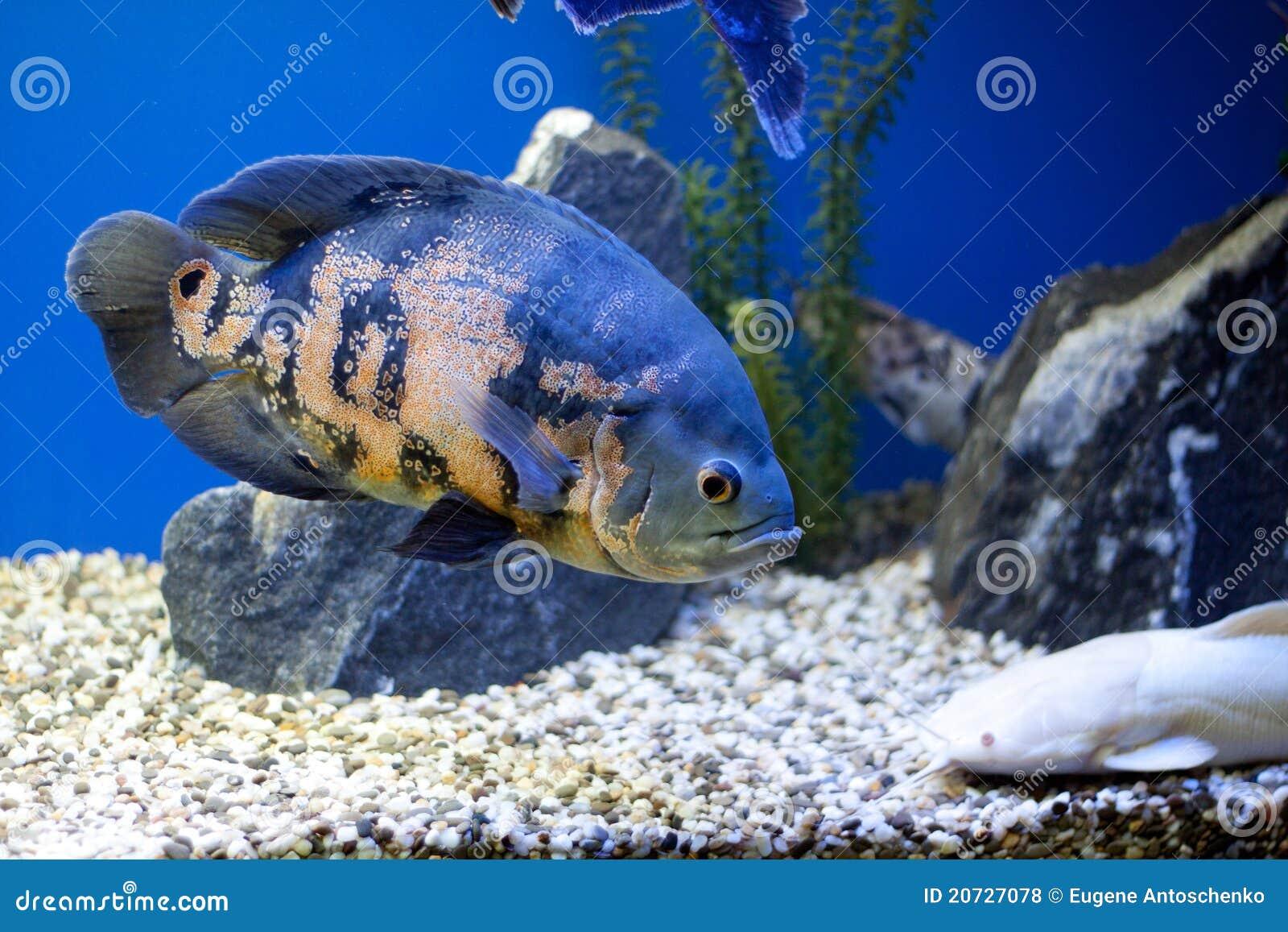 Big Blue Fish Underwater Royalty Free Stock Photos Image