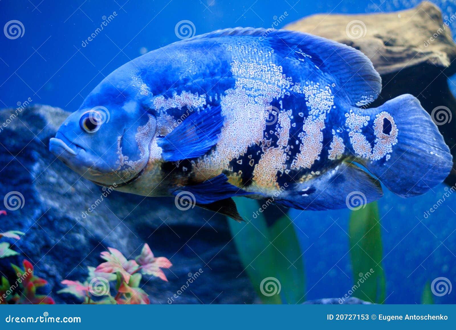 Big Blue Sea Fish In Aqurium Underwater Stock Image