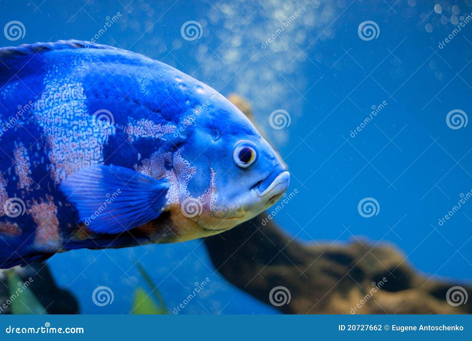 Big Blue Sea Fish In Aqurium Underwater Stock Photo