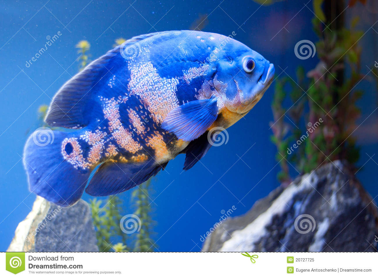 Big blue sea fish in aqurium underwater royalty free for Large ocean fish