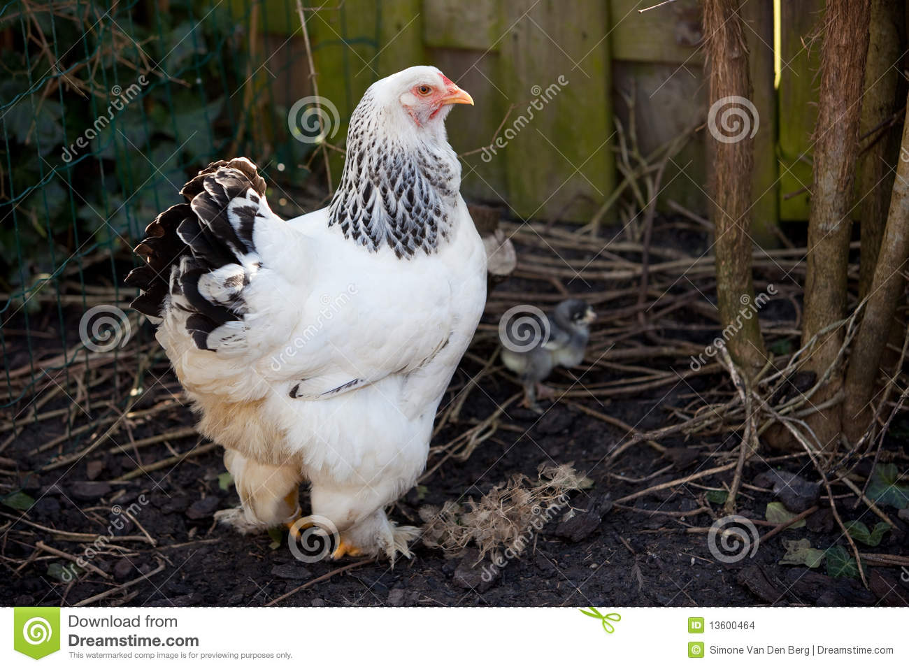 big brahma chicken with two baby chicks stock photo - image of chick