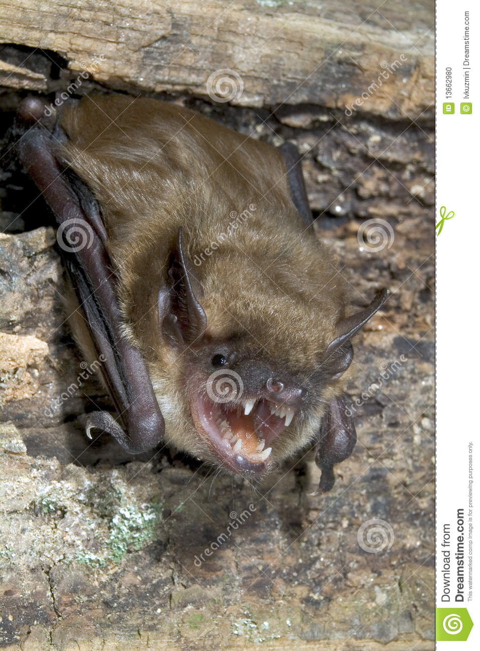 an introduction to the big brown bat Range description: the big brown bat is found from southern canada to  colombia and venezuela greater antilles bahamas hispaniola, dominica and .