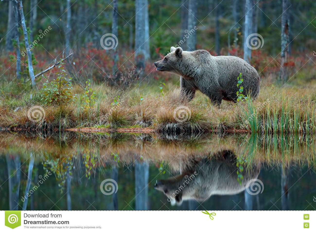 Big brown bear walking around lake in the morning sun. Dangerous animal in the forest. Wildlife scene from Europe. Brown bird in