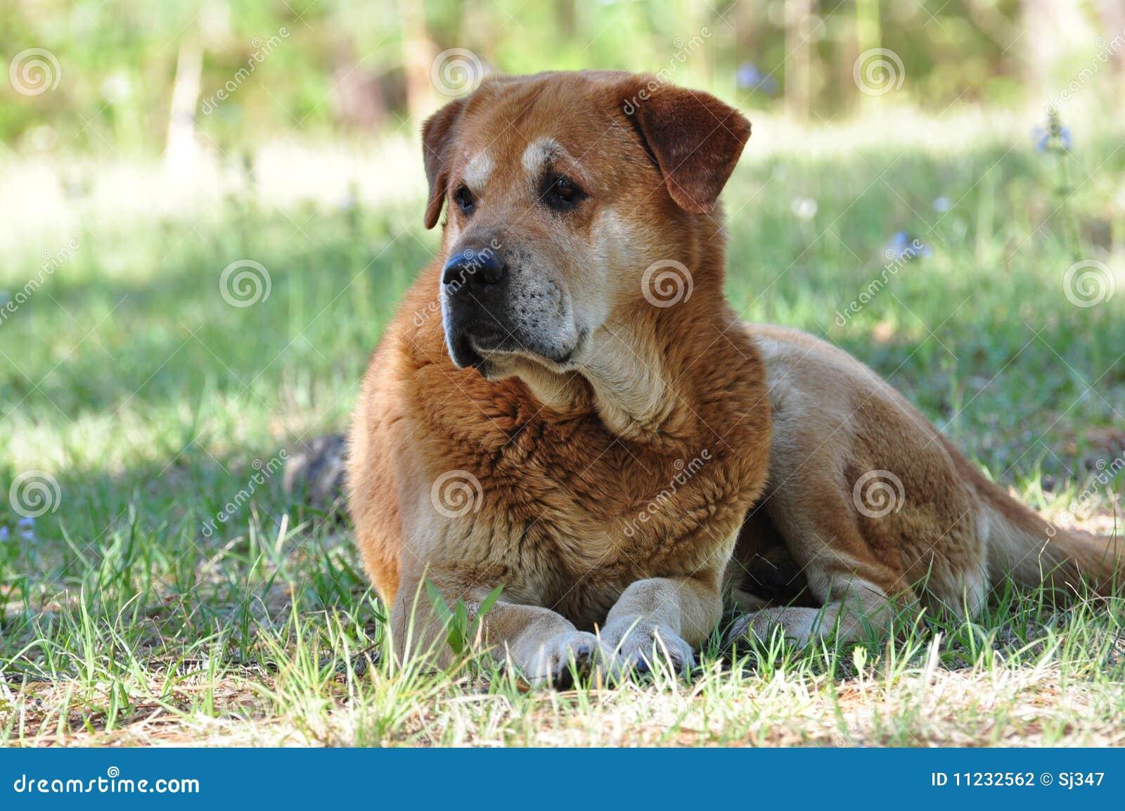 Big Brown Dog Stock Photography - Image: 11232562