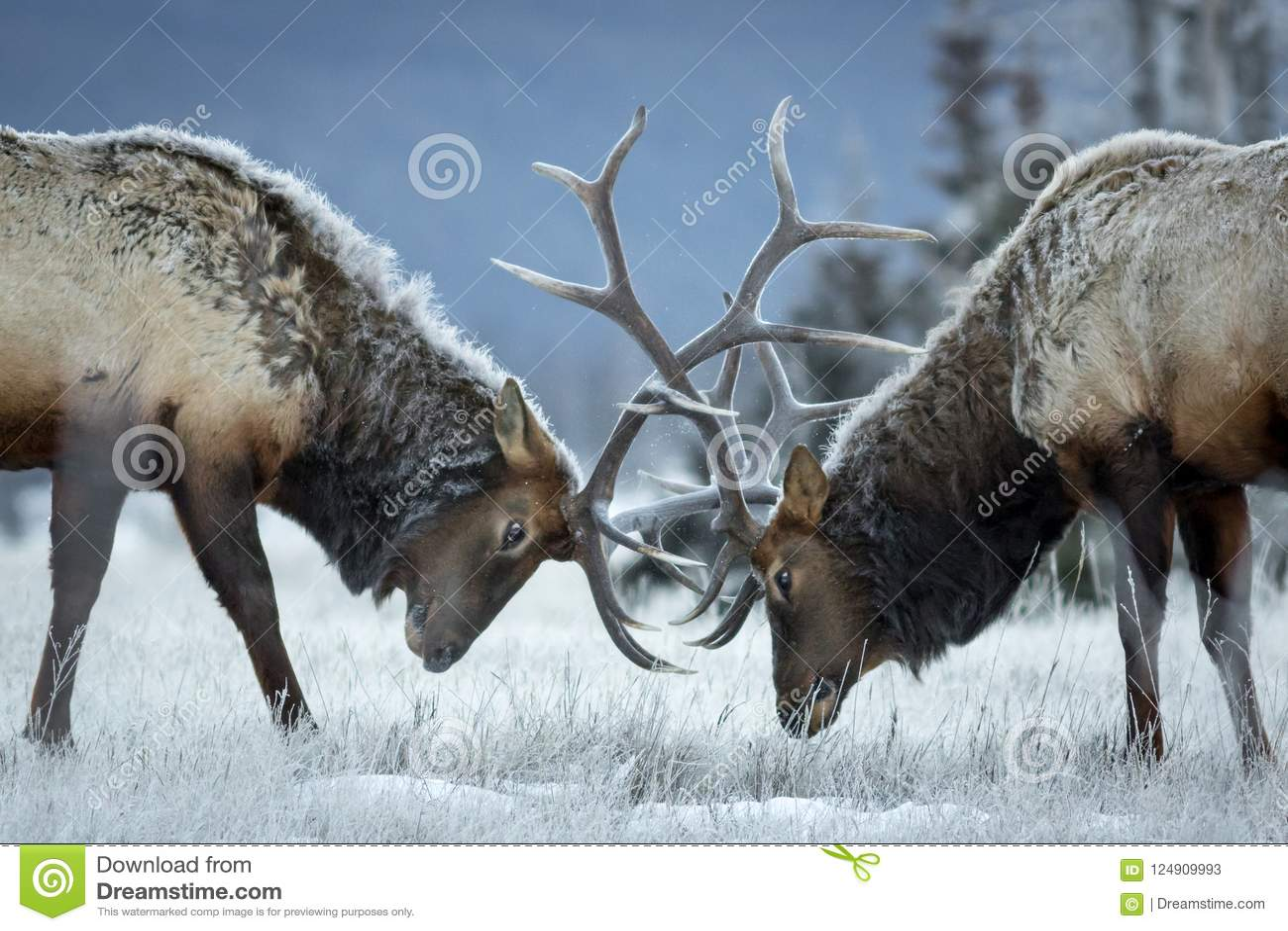 Big bull elk locking heads.