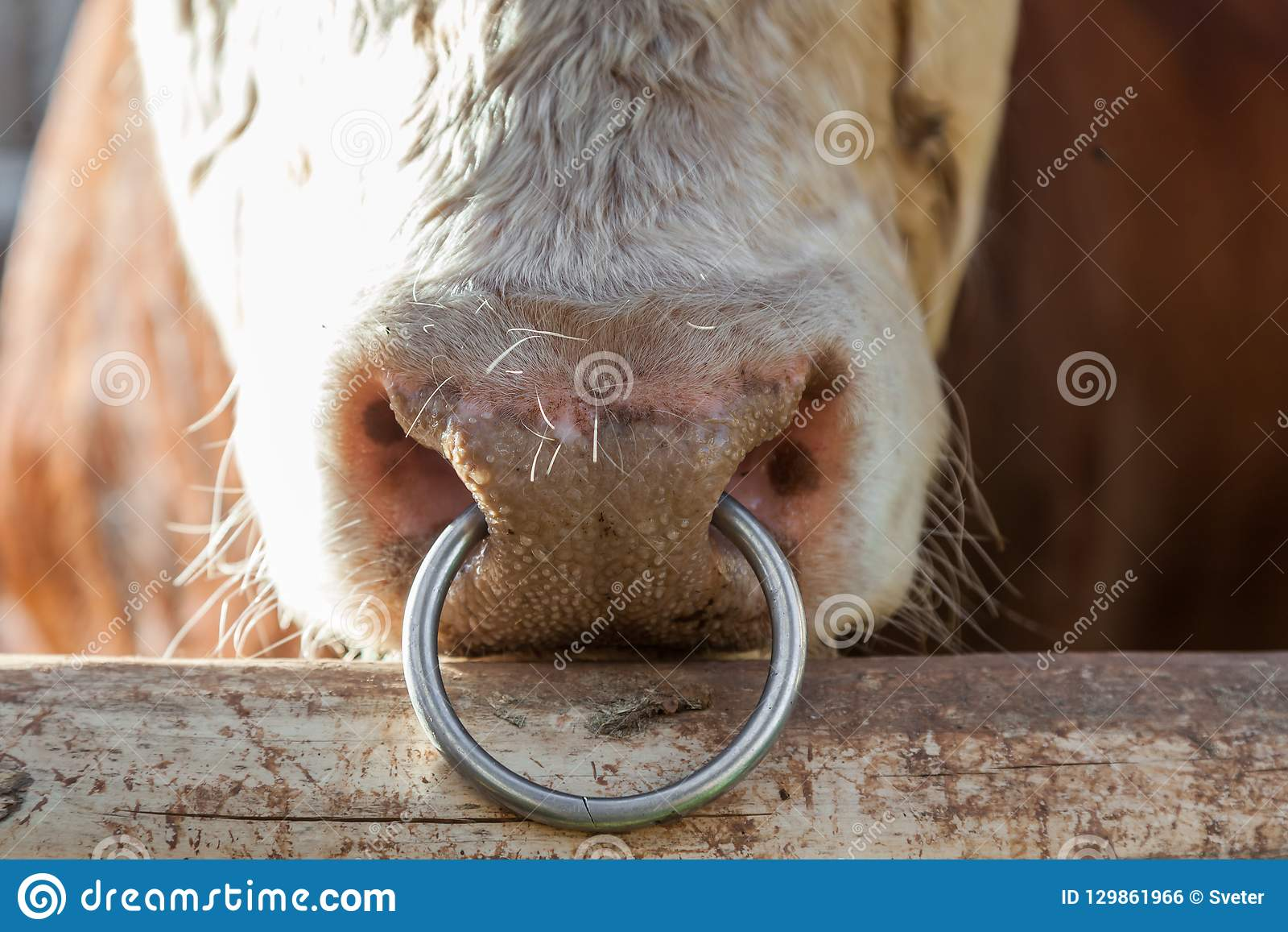 Big Bull With A Ring In A Nose Stock Photo Image Of Nose Rural