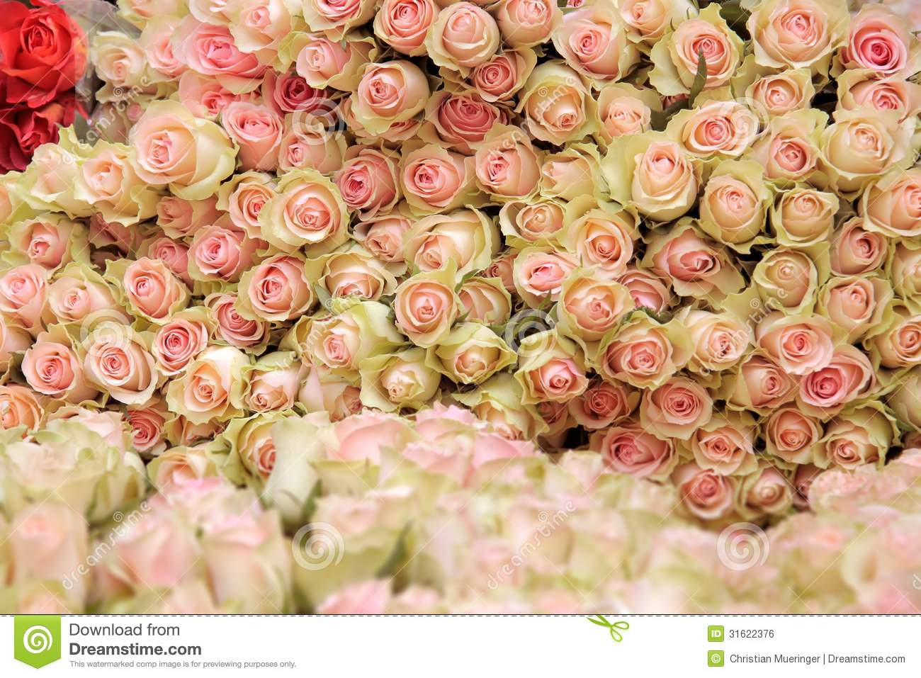 Baby Pink Rose Flowers Big bunch of cut light pink