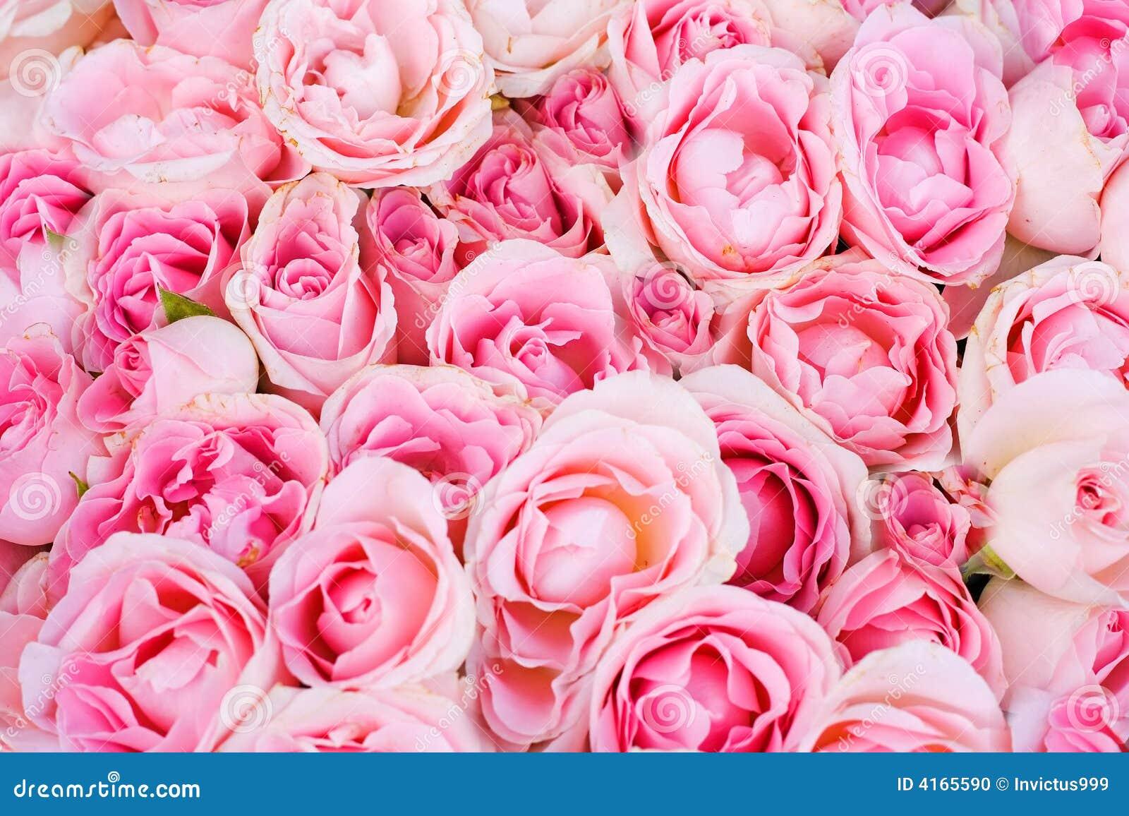 Pink Roses Pink roses stock photo   1300 x 956 jpeg 213kB