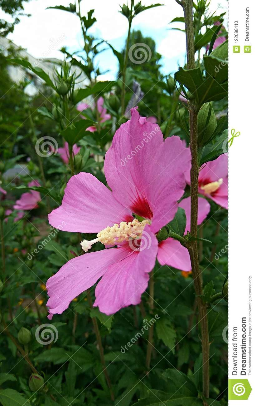 Big Bush With Pink Flowers Stock Photo Image Of Floral 122688410