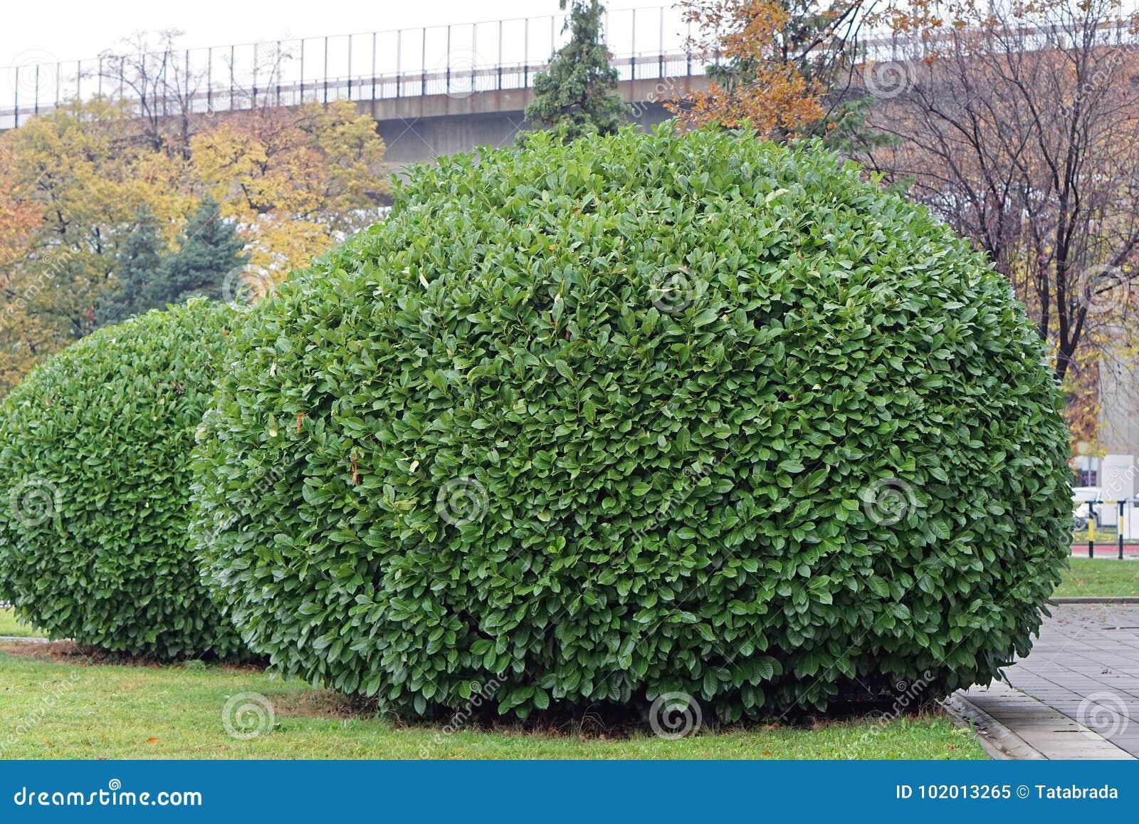 Big bush stock image. Image of round, plant, garden , 102013265