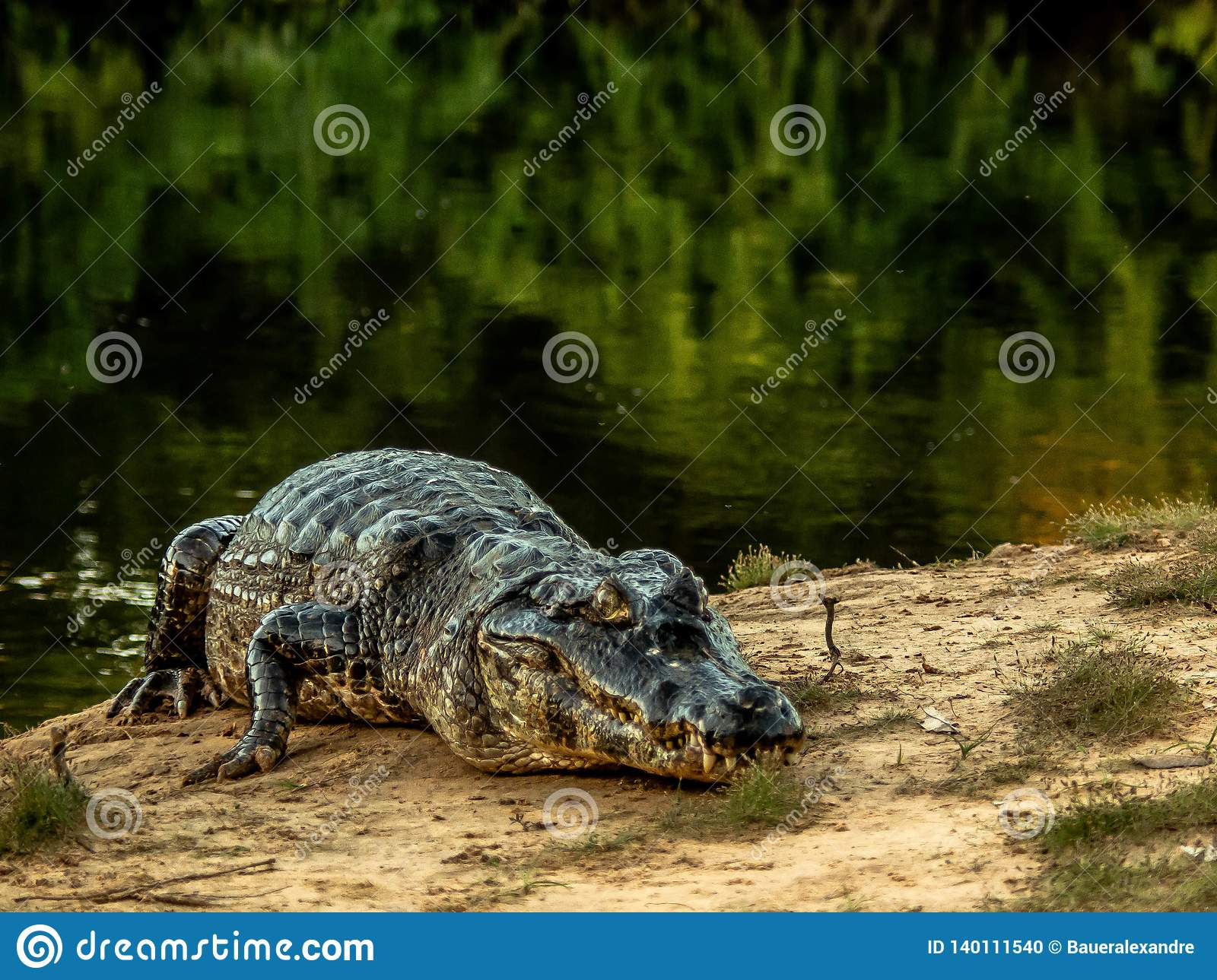 Big caiman in the Pantanal, mato grosso, Bresil