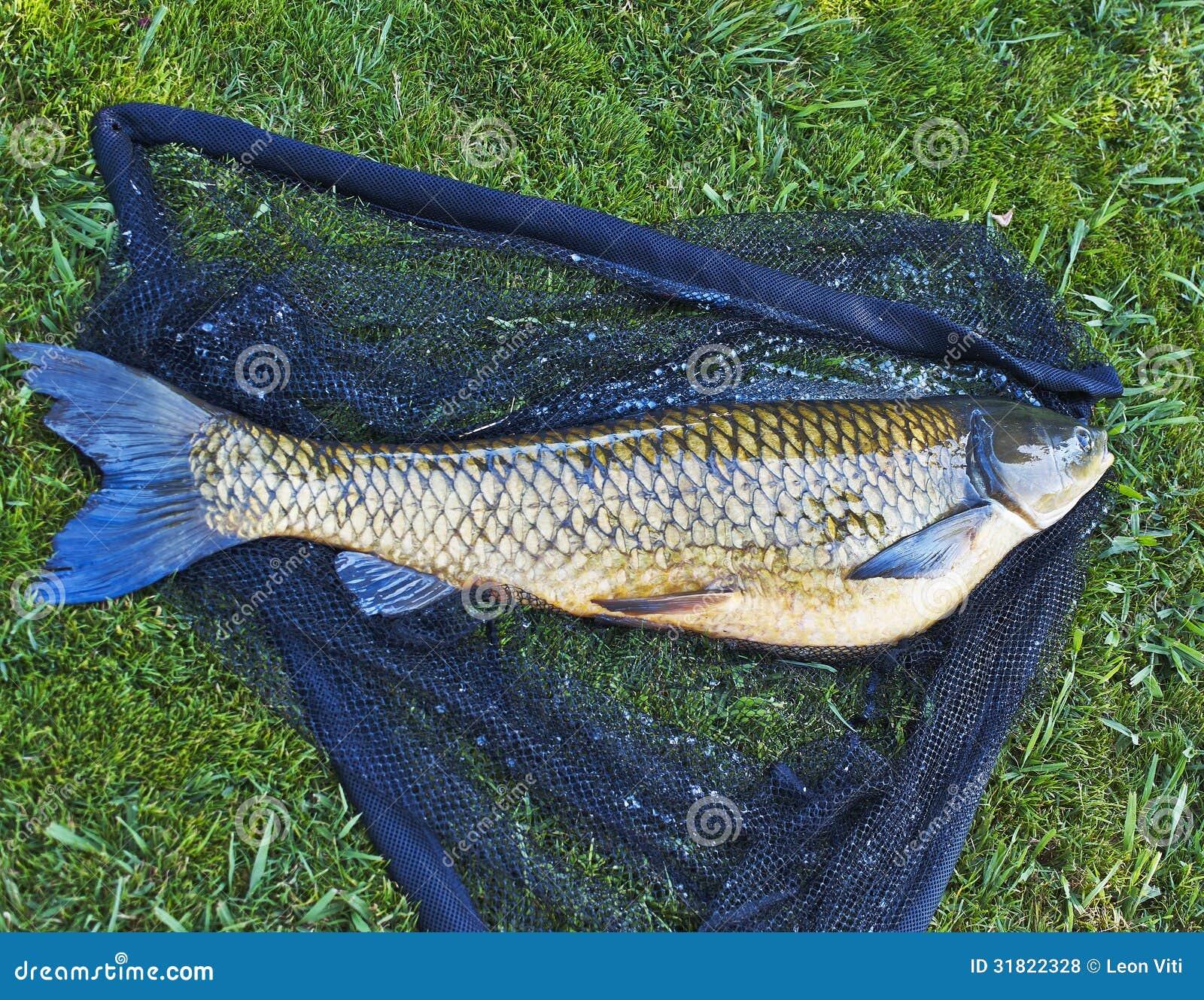 Big carp royalty free stock photos image 31822328 for Big fishing net