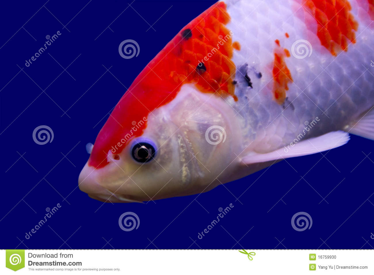Big colorful koi carp stock photo image 16759930 for Large koi carp