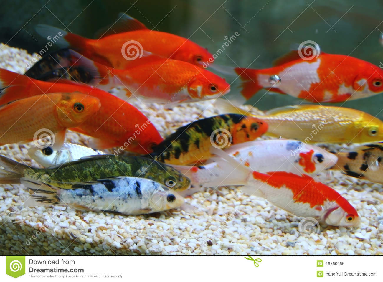 Big colorful koi carp royalty free stock photo image for Large koi carp