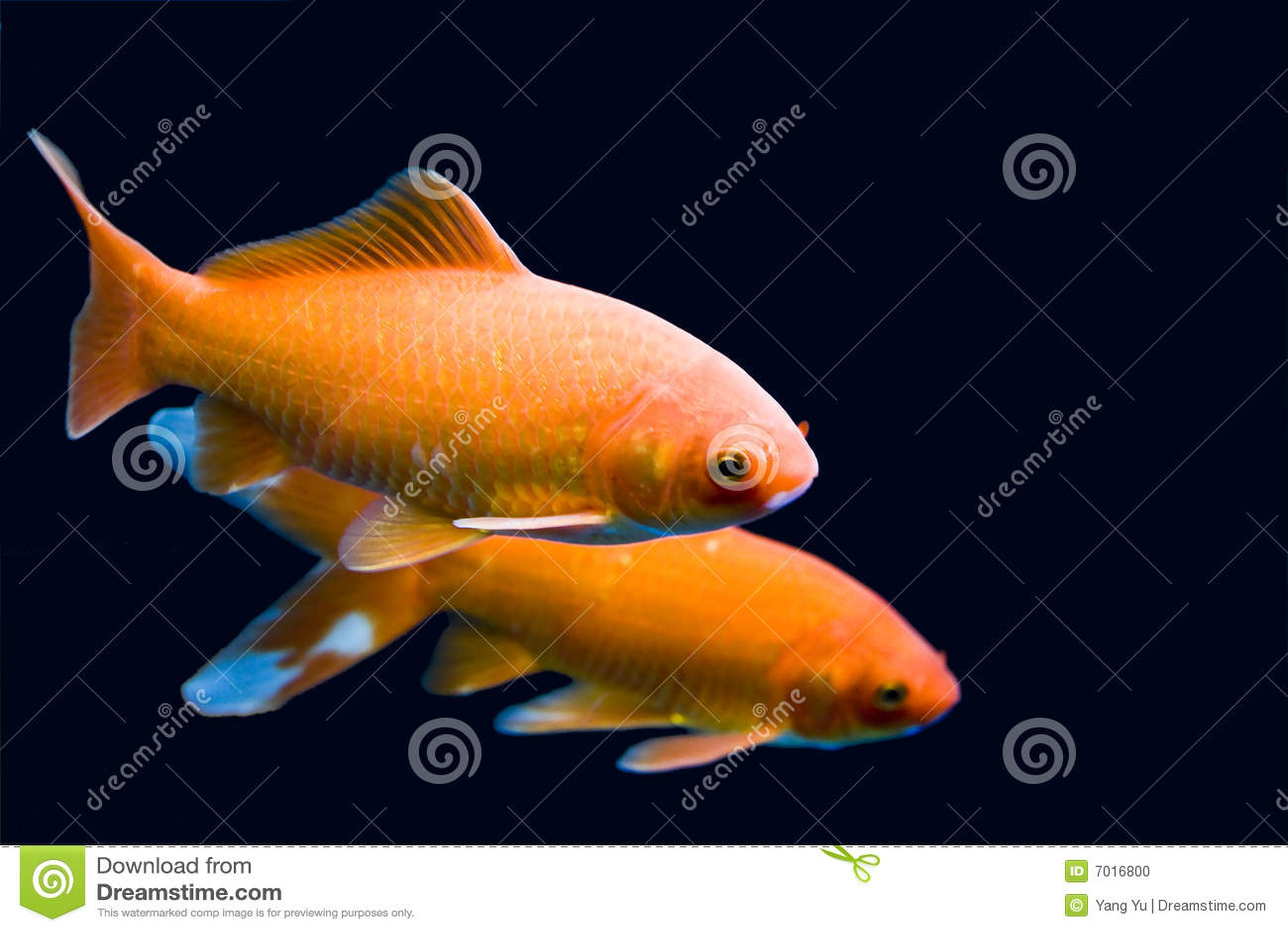 Big colorful koi carp stock photo image 7016800 for Big koi carp