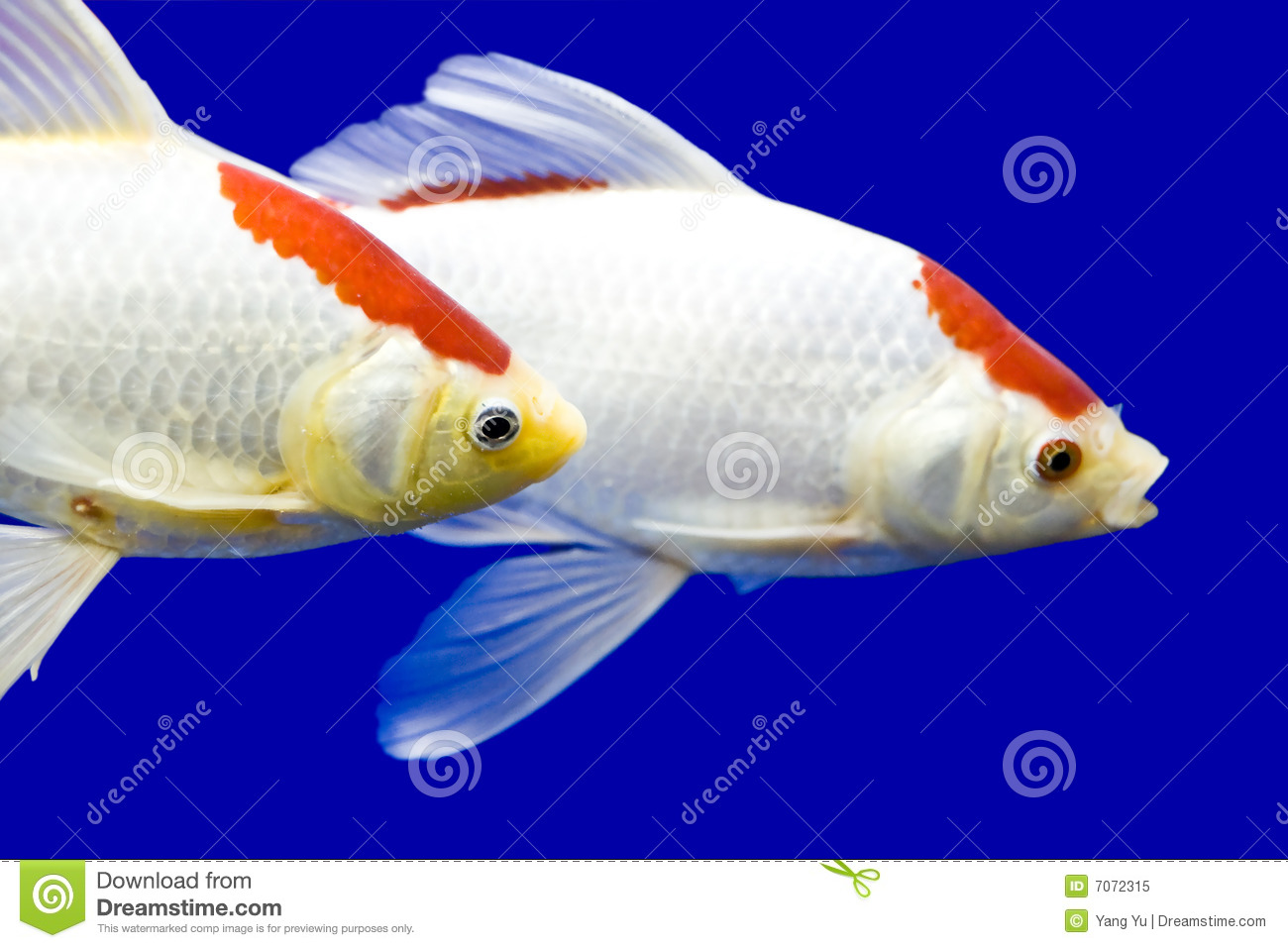 Big colorful koi carp stock image image of wildlife for Large koi carp
