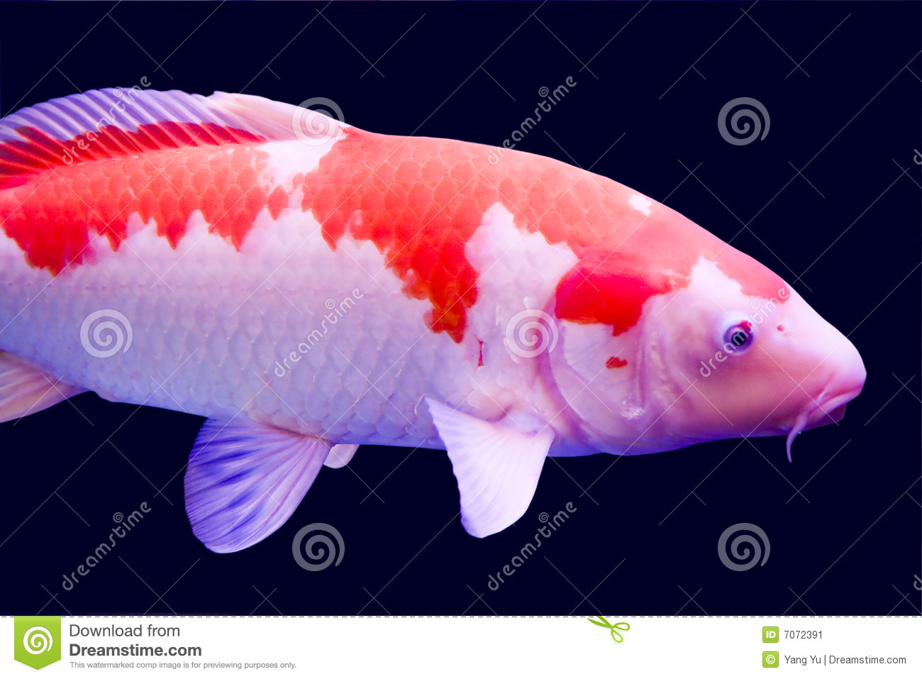 Big colorful koi carp stock image image 7072391 for Giant koi fish