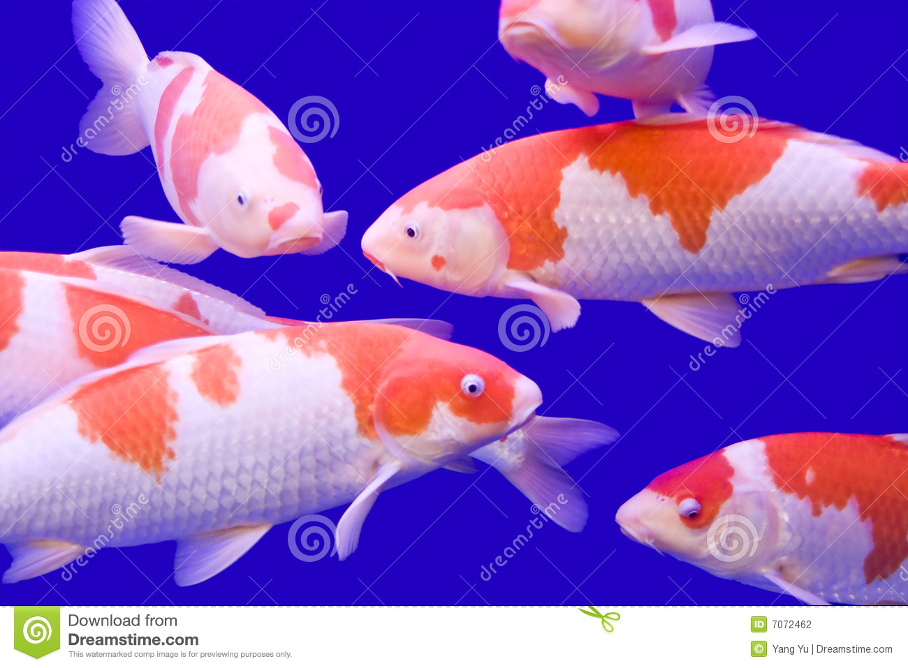 Big colorful koi carp stock photography image 7072462 for Large koi carp
