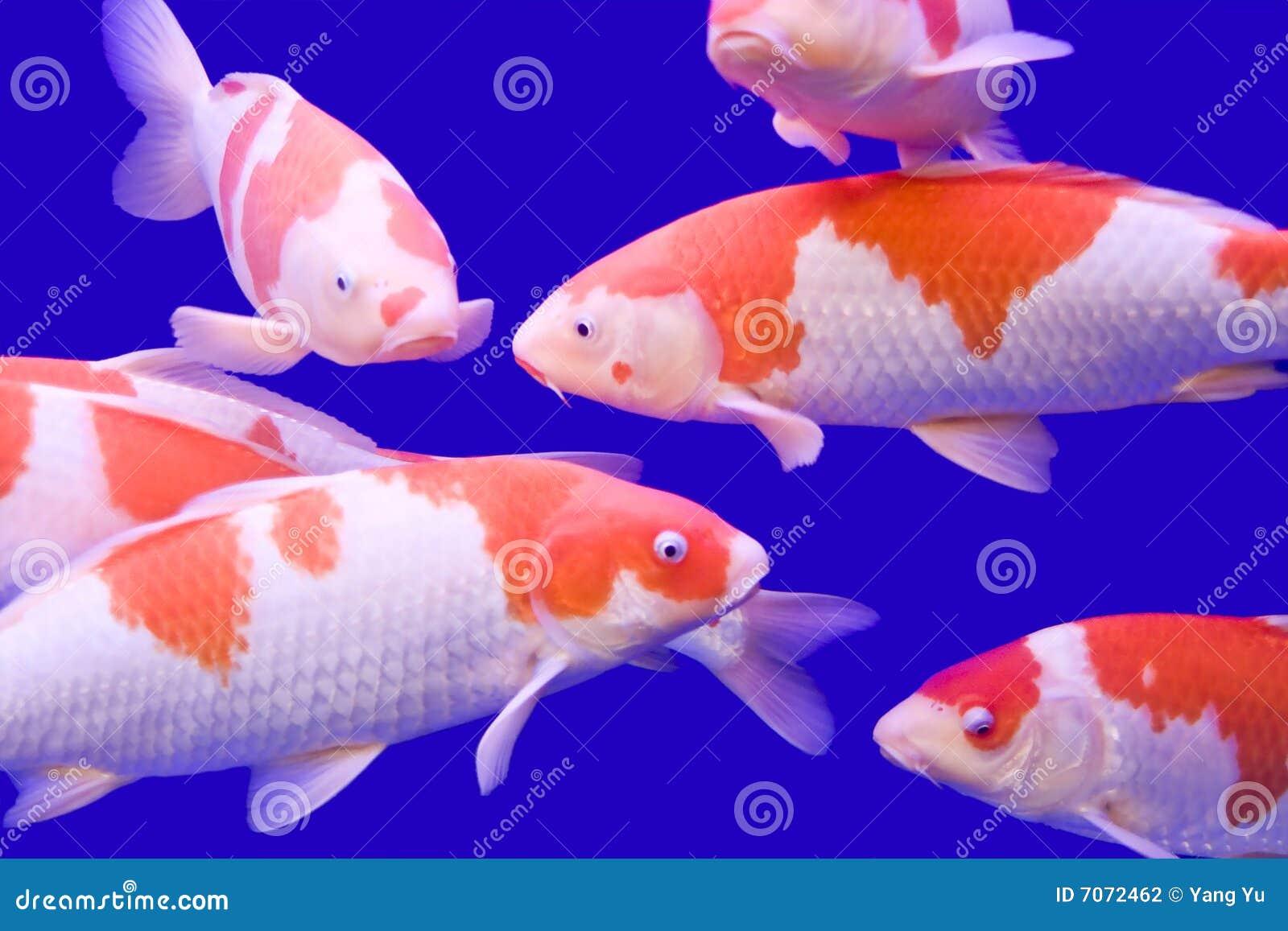 Big colorful koi carp stock photography image 7072462 for Koi carp colours