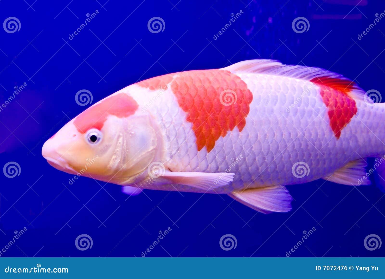 Big colorful koi carp stock image 7072477 for Koi carp colours