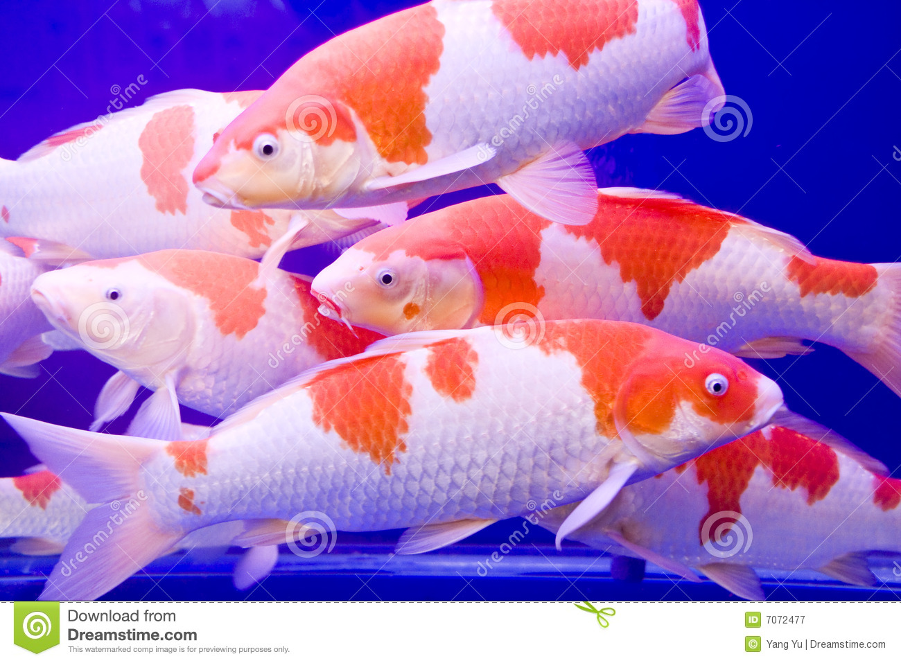 Big colorful koi carp stock image 7072477 for Large koi carp