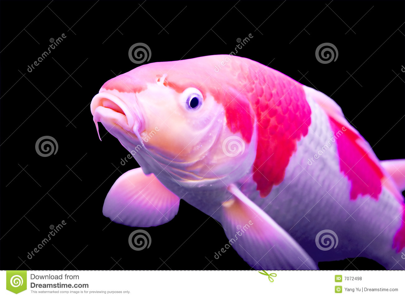 Big colorful koi carp royalty free stock photos image for Fish dream meaning pregnancy
