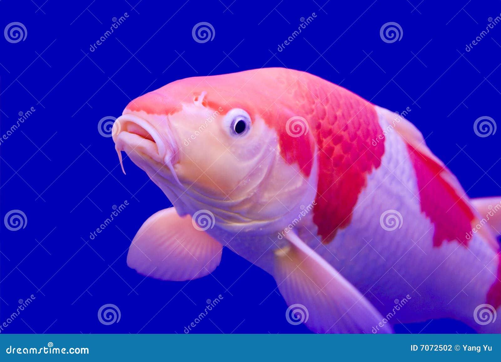 Big colorful koi carp stock photo image of colors luck for Big koi carp