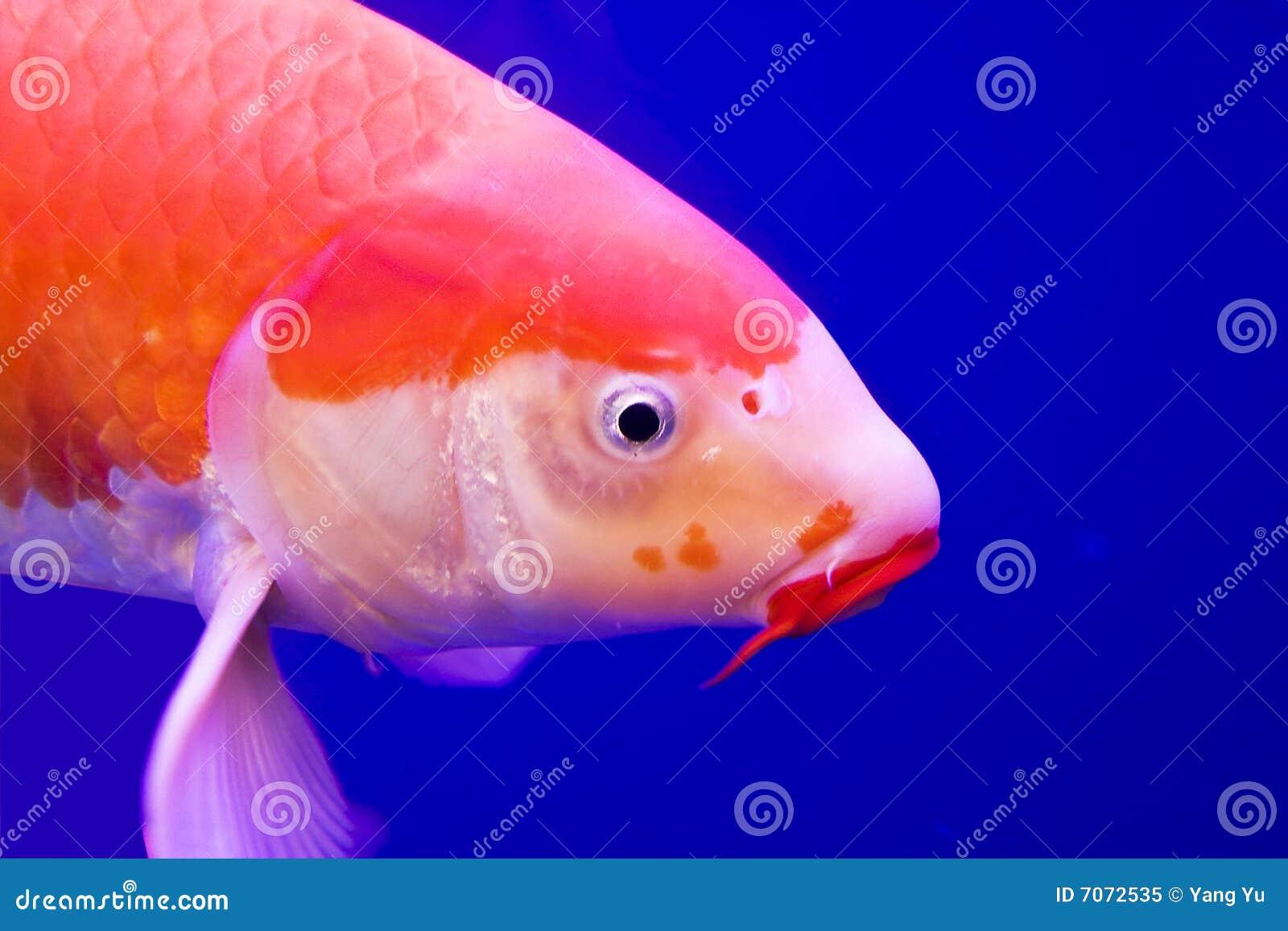 Big colorful koi carp royalty free stock photo image for Koi carp colours