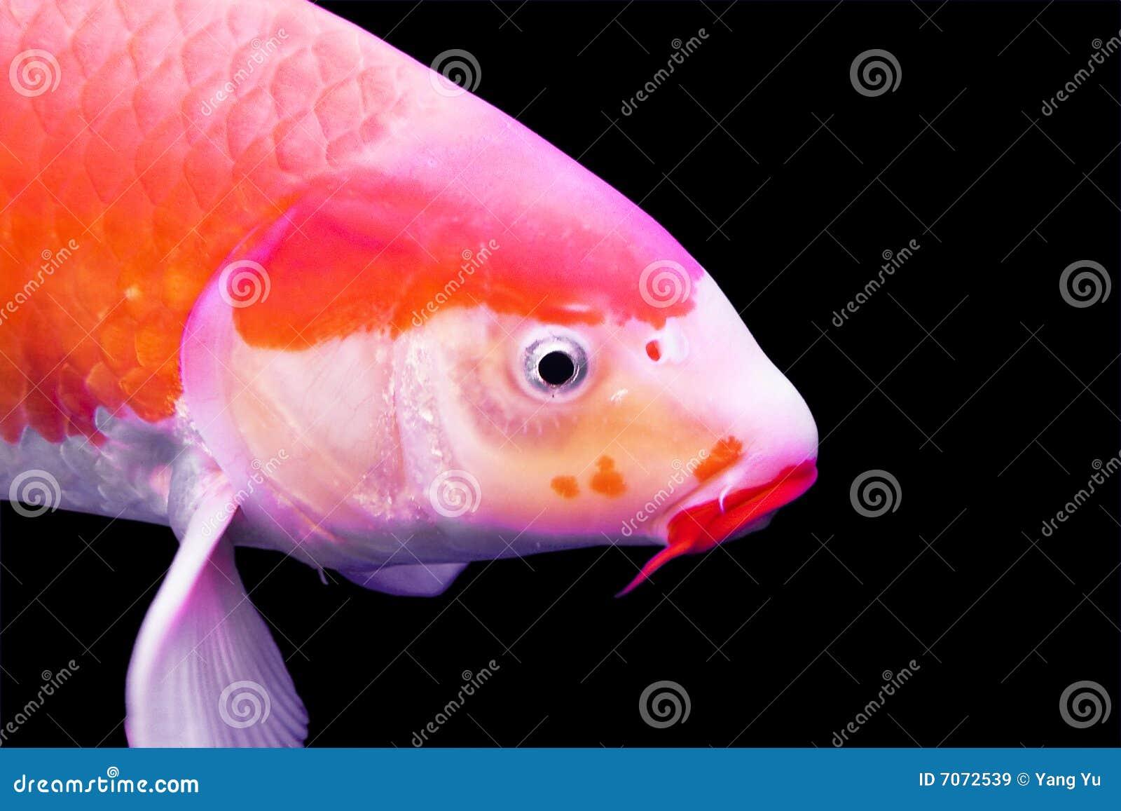Big colorful koi carp royalty free stock images image for Big koi carp